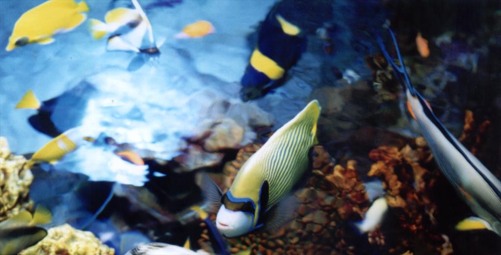 上から見た海水熱帯魚_R